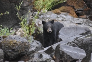 Young bear looks out from rocks on the banks of the Rogue River.